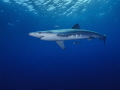 Blue shark off Faial  Azores.