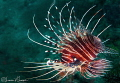 Lionfish/Photographed with a Canon 60 mm macro lens at Anilao  Philippines
