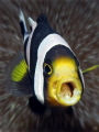 tongue-eating parasite (Cymothoa exigua) inside the mouth of a poor clownfish  (this isotopic parasite grows an inch in length and replaces the host's tongue)