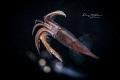 flying squid , black water diving