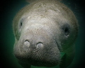 little MANATEE