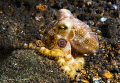 Mototi Octopus/Photographed with a Canon 60 mm macro lens at Anilao, Philippines