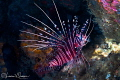 Lionfish/Photographed with a Canon 60 mm macro lens at Anilao, Philippines