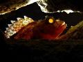 Scorpaena maderensis Back lighted