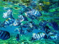 A flock of Indo-pacific sergeant fish floats over a coral reef.
