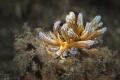 Nudibranch Phyllodesmium lizardensis