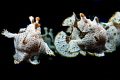 Painted frogfish(Single).