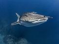 Suspension  Whale Shark - Rhincodon typus  Sail Rock, Thailand