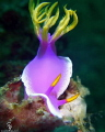 Hypselodoris Apolegma in Lembeh Straight.