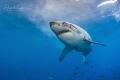 White Shark seven, Isla Guadalupe México