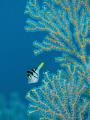 par a noid  Black Saddled Toby   Canthigaster Valentini  Bali  Indonisia