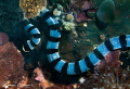 Yellow Lipped Sea Krait/Photographed with a Canon 60 mm macro lens at Alor  Indonesia