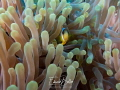 Anemone fish always adorable