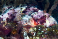 Papuan Scorpionfish/Photographed with a Canon 60 mm macro lens at Alor  Indonesia