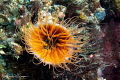 Orange Anemone/Photographed with a Canon 60 mm macro lens at Alor  Indonesia