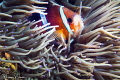 Clark s Anemonefish/Photographed with a Canon 60 mm macro lens at Alor  Indonesia.