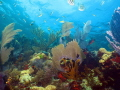 Coral Reef Scene  Elbow Reef  John Pennekamp Coral Reef State Park  Key Largo  Florida  USA