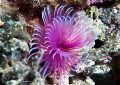 Feather duster worm/Photographed with a Canon 60 mm macro lens at Alor  Indonesia.