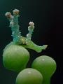 Lobiger viridis - marcher sur des oeufs