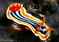 Mutant Chromodoris magnifica/Photographed with a Canon 60 mm macro lens at Alor, Indonesia