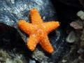 Juvenile Cushion Sea Star, less than 1 inch, Blue Heron Bridge, Florida