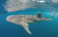 Whaleshark in the gulf of Tadjoura (Red Sea, Djibouti)