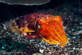 Broadclub cuttlefish/Photographed with a Canon 60 mm macro lens at Alor, Indonesia