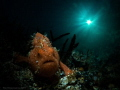 Small Frogfish taking a stroll.