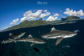 Black tip reef sharks above Moorea, the heart of French Polynesia