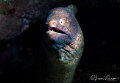 White-eyed moray eel/Photographed with a Canon 60 mm macro lens at Alor, Indonesia
