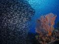 Baitfish and Seafan scenery!