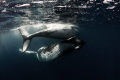 Whale and calf playing together
