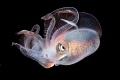Diamond squid.