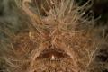 Bad Hair day. Hairy Frogfish