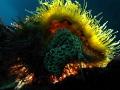 Cymatium parthenopeum Giant Hairy Triton