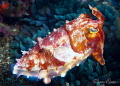 Broadclub cuttlefish/Photographed with a Canon 60 mm macro lens at Alor  Indonesia