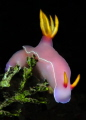 A Hypselodoris  whose beauty I enjoyed capturing while on a dive in Lembeh Strait.
