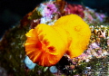 Yellow cup coral/Photographed with a Canon 60 mm macro lens at Alor  Indonesia