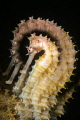 Thorny seahorse with a new creative filter.