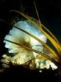 Phoronis australis Marine horseshoe worm