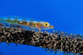 Wire coral goby with her mature eggs.