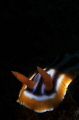 Chromodoris sp.  nudibranchia