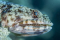 Lizardfish portrait