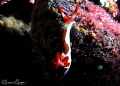 Nembrotha chamberlaini/Photographed with a Tokina 10 17 mm fisheye lens at Alor  Indonesia
