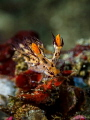 Nudibranch   Dendronotus regius  Bali  Indonesia