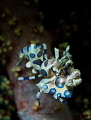 Harlequin shrimp    Lembeh Strait   Indonesia