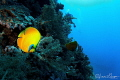 Bluecheek Butterflyfish/Photographed with a Tokina 10 17 mm fisheye lens at Brothers  Egypt  Red Sea