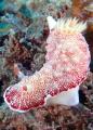 Saw this Goniobranchus while diving in Pandang Bay, Bali.