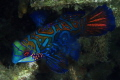 A Mandarin fish that seemed to come toward me, instead of fluttering away, as if to say