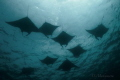 Manta rays, passing in surface in the Sulwaesi Sea near Sangalaki Island, East Kalimantan